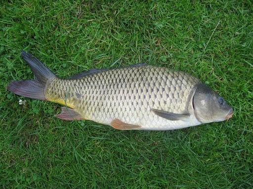 Cá chép tự nhiên sông Đồng Nai