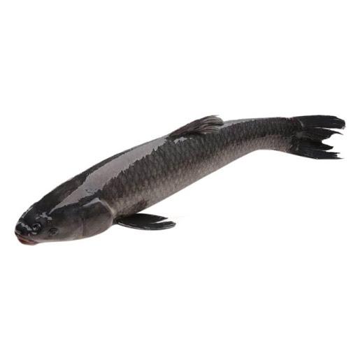 Cá trắm đen có trọng lượng lớn từ 3 - 10kg/con